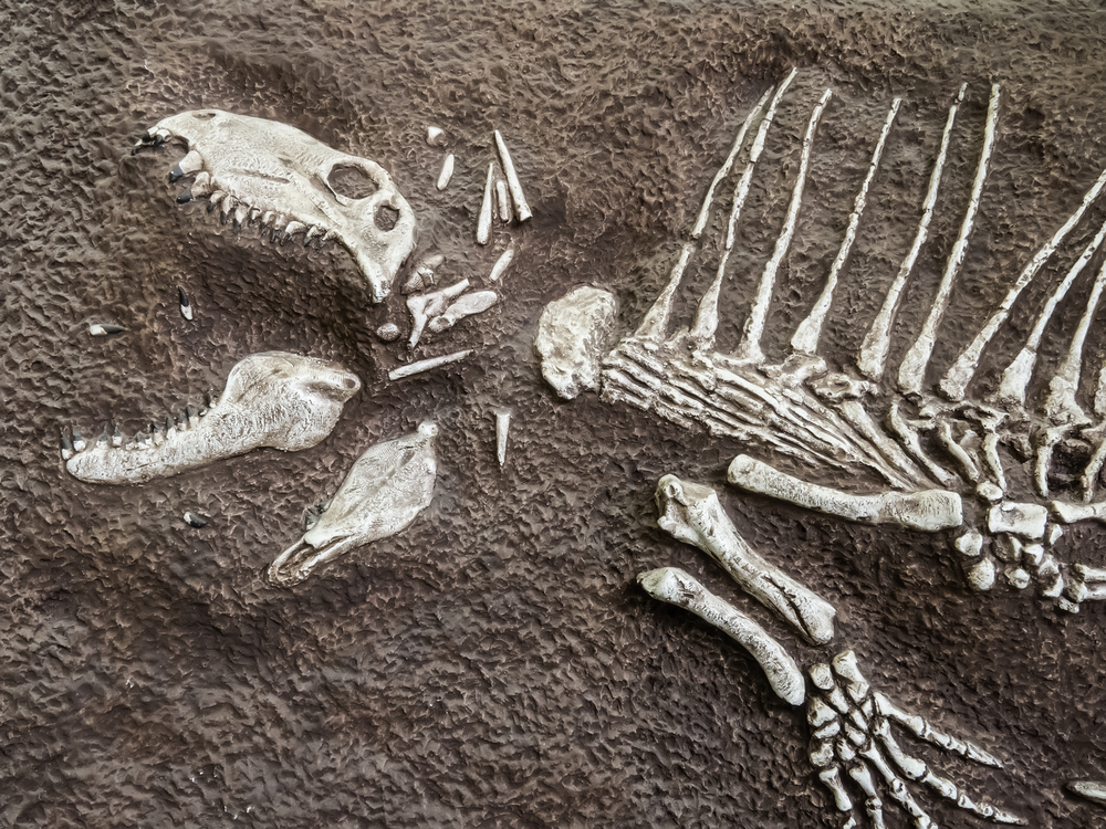 Fragmentary fossil of pelycosaur, a mammal-like reptile sometimes called a sail reptile or synapsid amniote, from the Permian or Triassic Period